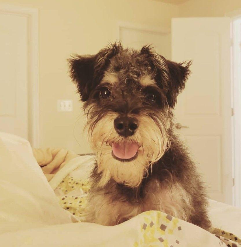 yorkie puppies for sale lexington ky