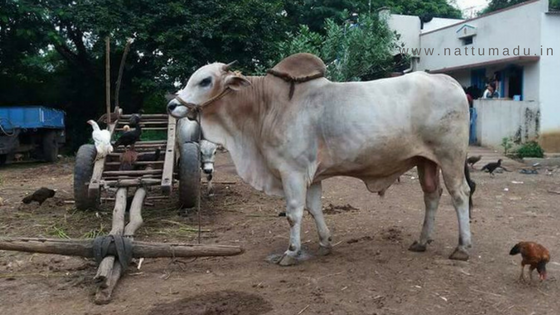 Ongole cattle breed (Ongole Bull/ Ongole Cow Cattle