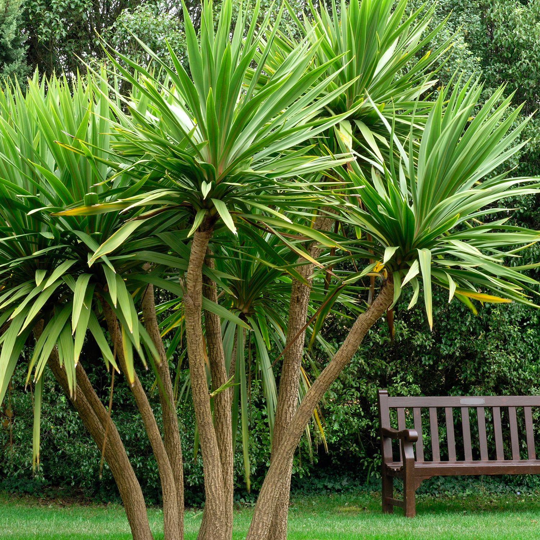 Cordyline australis - Cabbage Palm - Dobbies Garden Centres   MOS ...