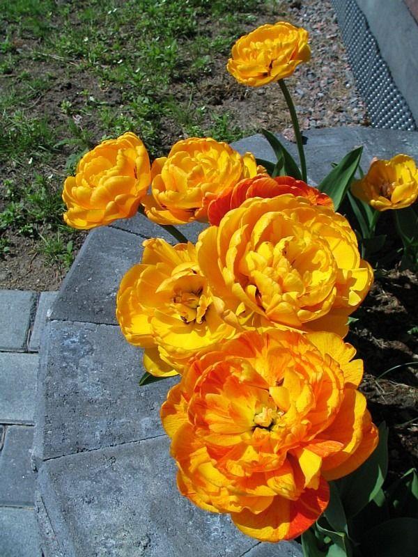 Double Sun Lover tulipa