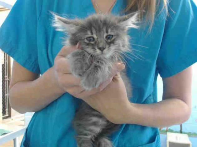 This sweet baby is in San Bernardino City Animal Control. Please hurry to save this sweet tiny baby this is a HIGH KILL SHELTER!!~~A488392