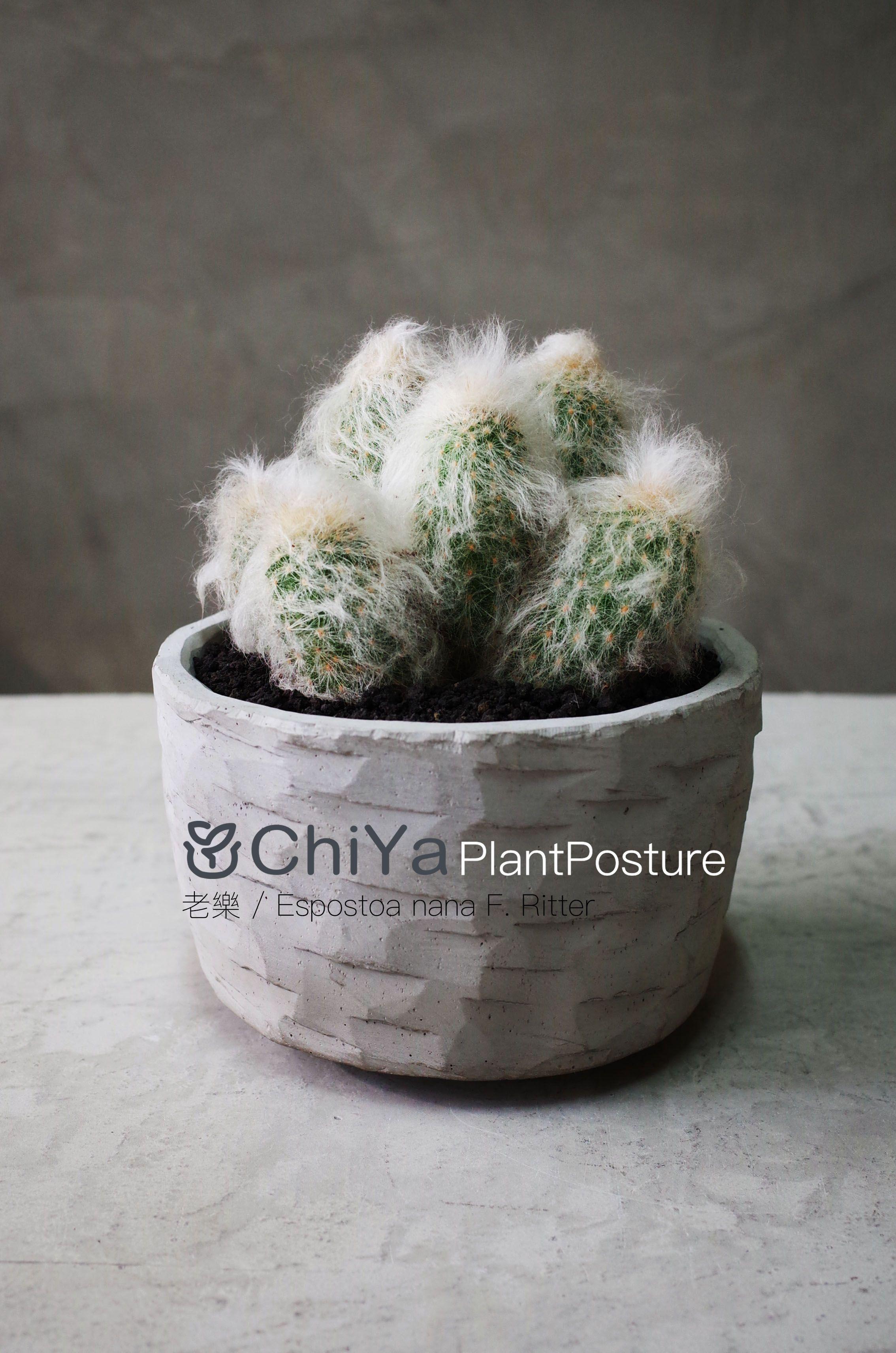 #老樂 #Espostoa nana F. Ritter #Caudex #Cement basin #Plant #Cactus #Succulents ...