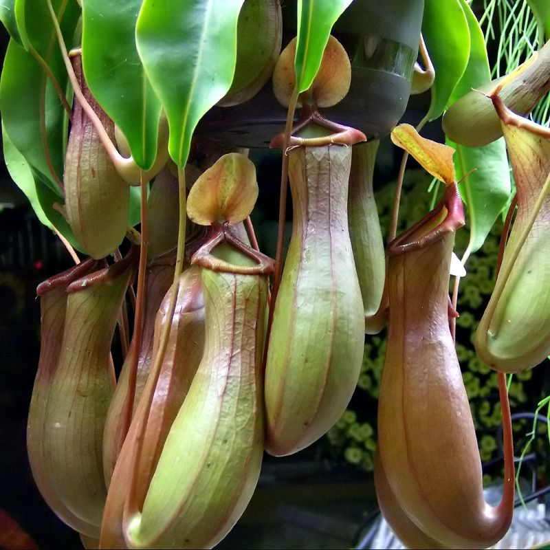 Nepenthes Pitcher Plant Plants Insectivorous Plant