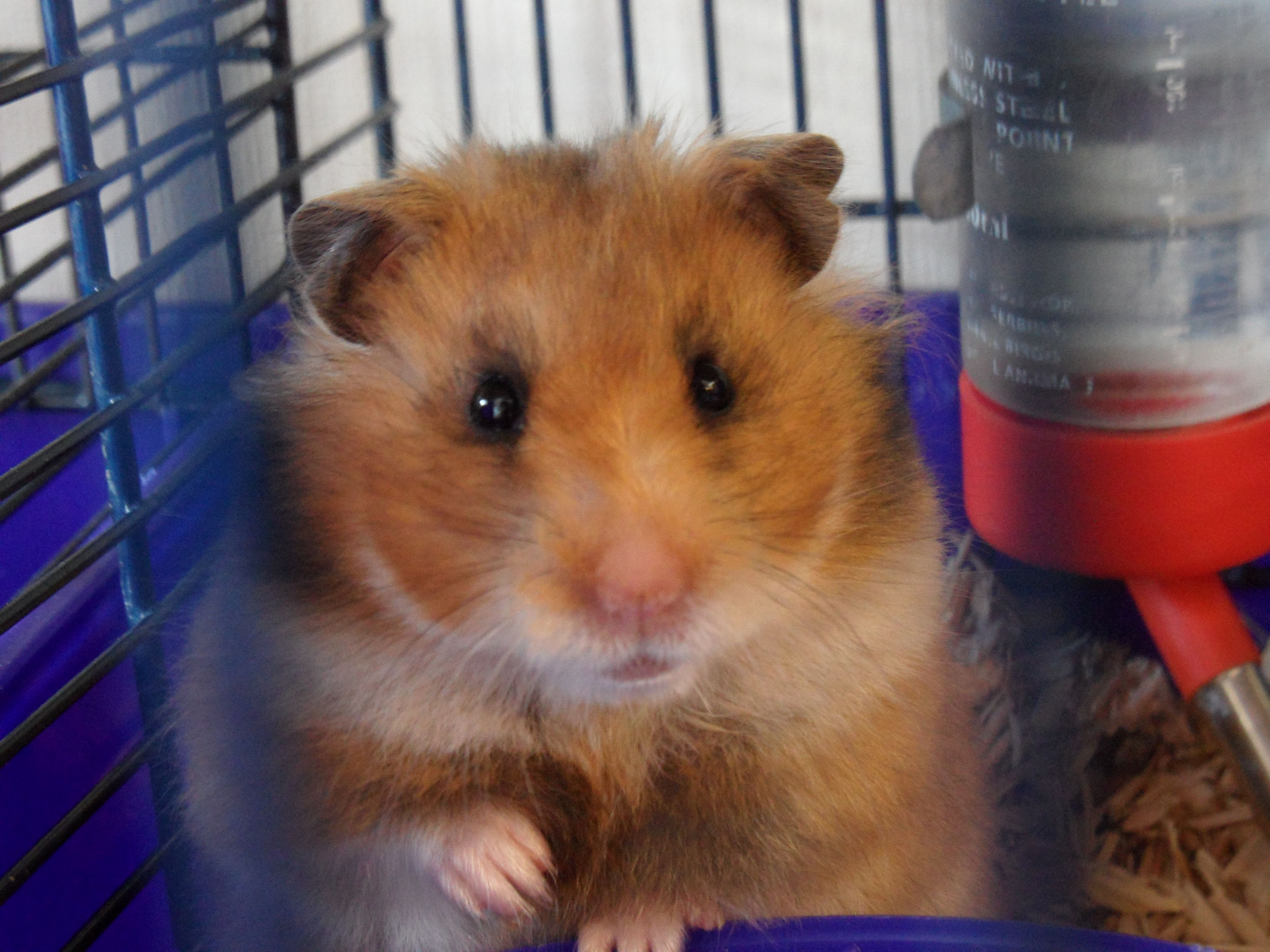 One Of Our Cute Hamsters Available To Buy Now In Our Middlesbrough Uk Pet Shop For More Info See Our Site Http Www Wackypets Co Uk
