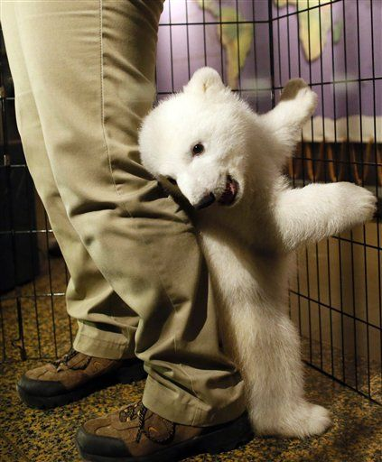 Smiling polar bear cub debuts at western NY zoo AP: A smiling, playful 3-month-old polar bear cub has made its public debut at the Buffalo Zoo in western New York. The zoo introduced the cub in efforts to fundraise for a new $18 million polar bear exhibit. Around $4 million is still needed. The Buffalo Zoo says it's one of only two zoos in North America to have polar bear births in 2012. Photo:A three-month-old polar bear cub plays around with her keeper as she is introduced to membe