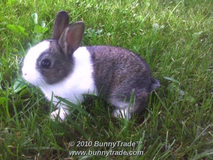 Baby Dutch Rabbits Baby gray dutch rabbit | Dutch rabbit ...