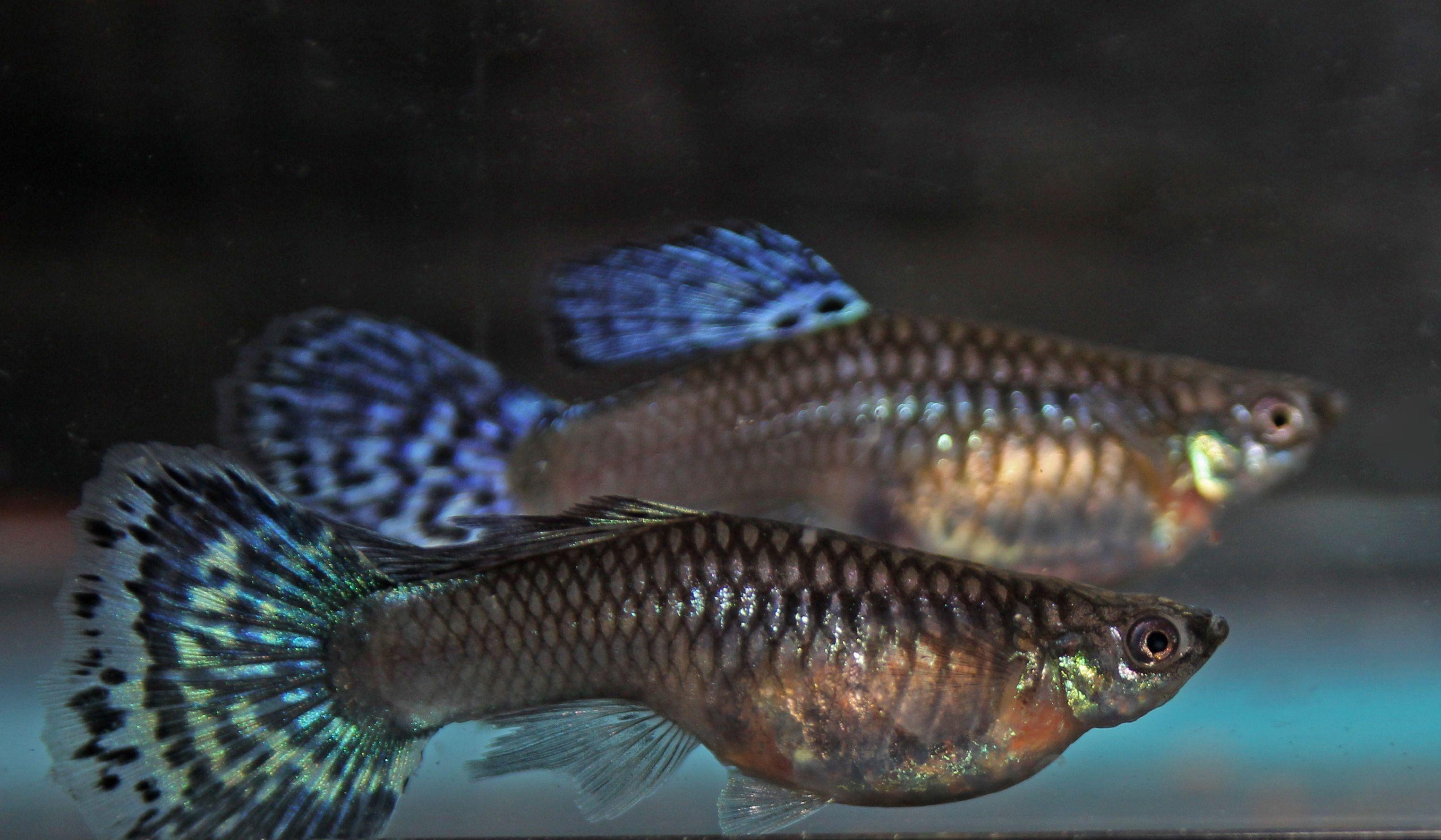 Some Colorful Female Guppies Guppy Fish Guppy Freshwater Aquarium Fish