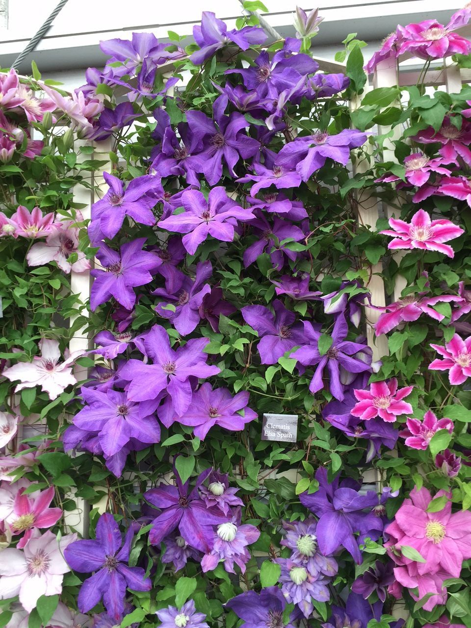 Image result for clematis elsa spath   Clematis, Clematis ...