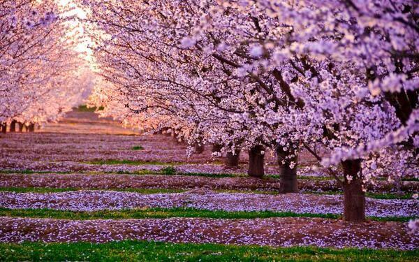 Cherry Blossoms In Fresno Ca Cherry Blossom Wallpaper Blossom Trees Picture Tree