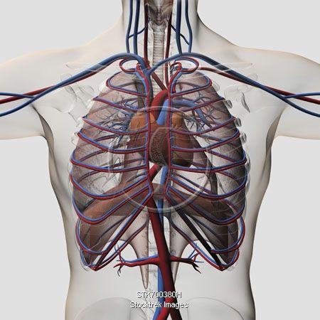 Medical illustration of male chest with arteries, veins, heart and ...