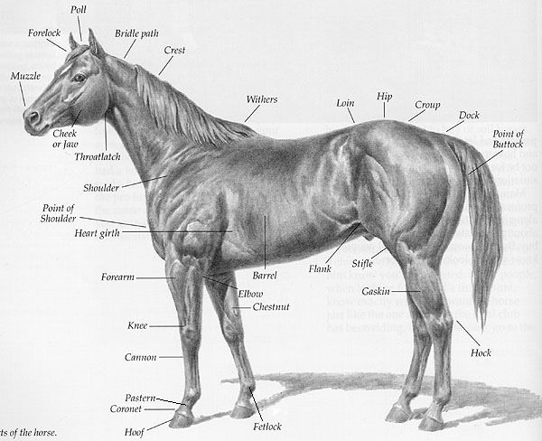 PARTS OF THE HORSE CHART. This chart lists the names of basic ...