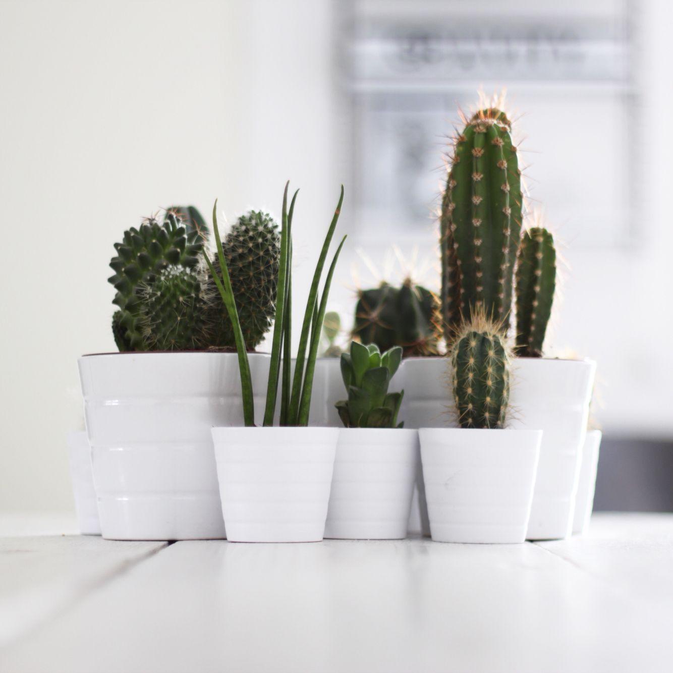 Cactus Ikea Myhome Ikea Plants Cactus Plants House