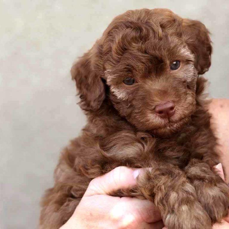 Teacup Labradoodles | Toy Labradoodle Puppies | Chocolate