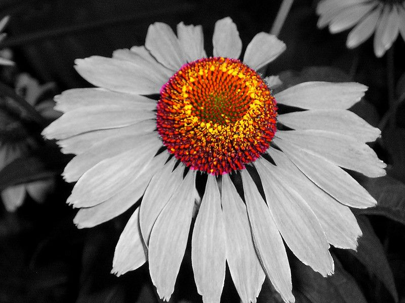 Black and white photography with color flowers background 1 hd black and white photography with color flowers background 1 hd wallpapers mightylinksfo