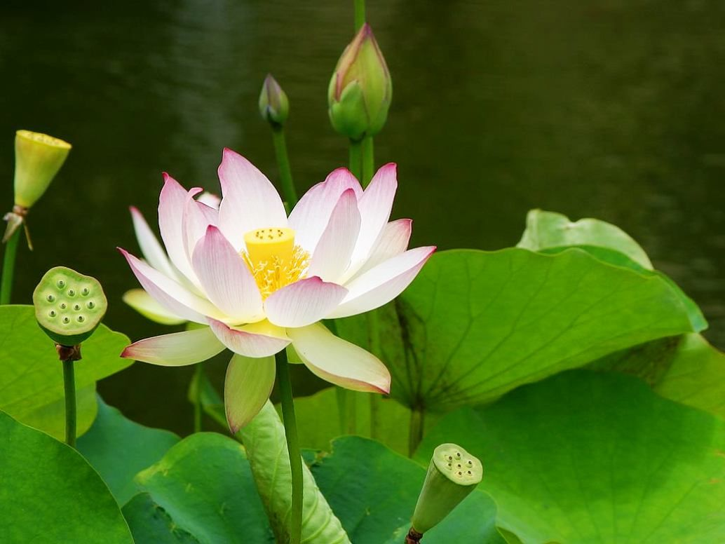 Gambar Bunga Teratai Putih Dengan Ujung Pink Ideas For The House