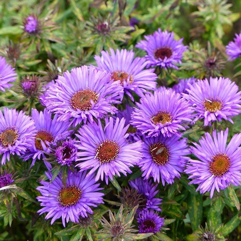 Purple Dome New England Aster Aster Flower Perennials American Meadows