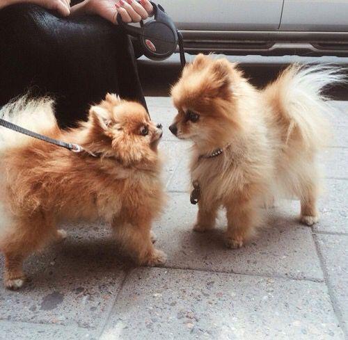 Billionladies Susse Tiere Babyhunde Chihuahua Welpen