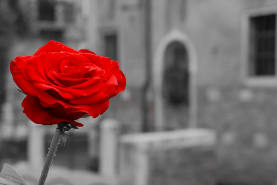 Red rose with black and white background photograph red rose with black and white background