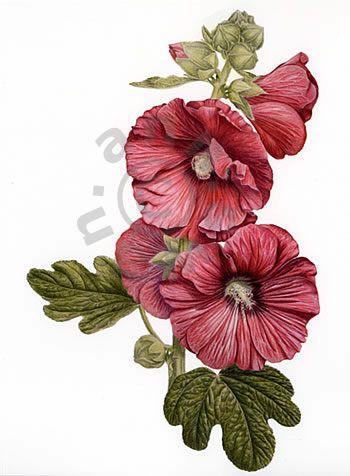 Ann Swan Contemporary Botanical Art Coloured Pencil Artist