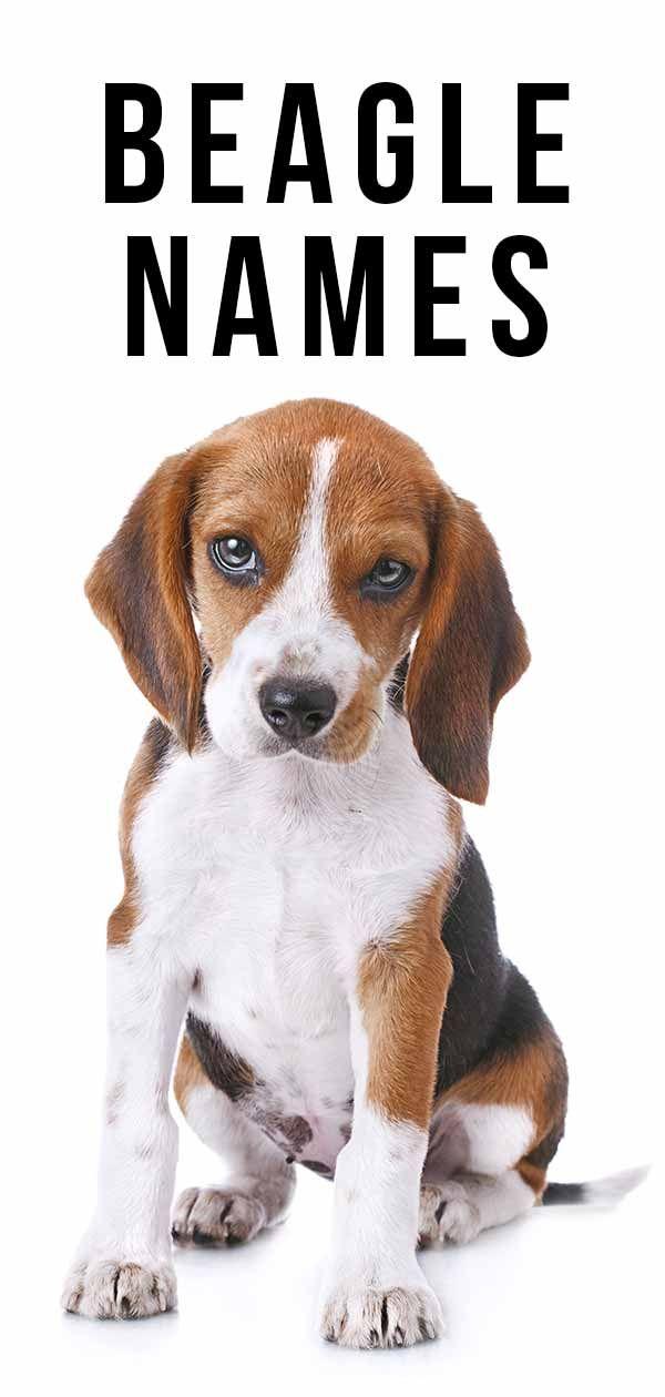 Beagle Names Beagle names, Girl dog names, Dog names unique