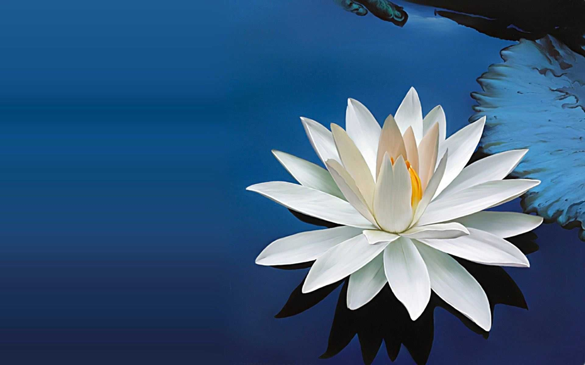 White Lotus Flower Wallpapers Desktop Wallpaper Lotus White