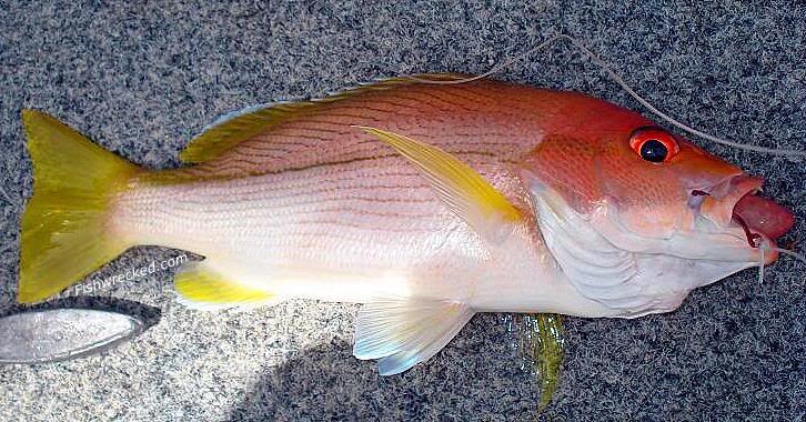 Lutjanus vitta brownstripe snapper striped sea perch for Sea perch fish