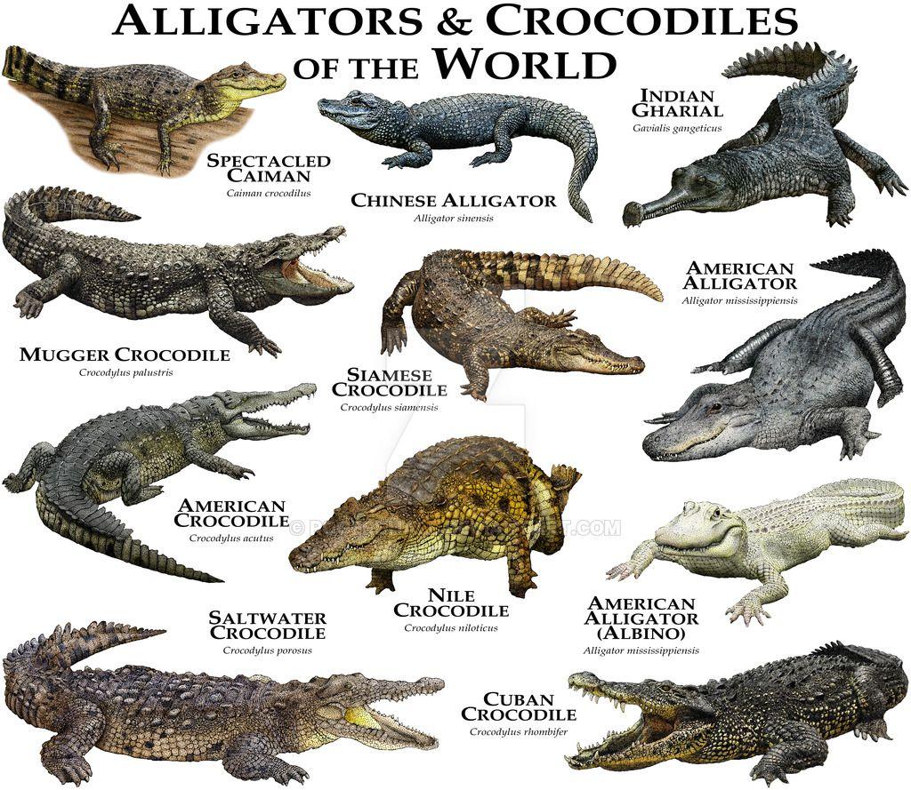 Alligators and Crocodiles of the World by rogerdhall on DeviantArt