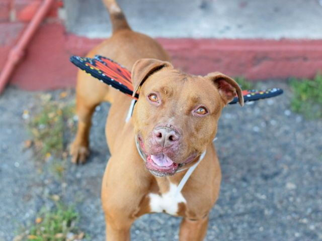Kotka A1094631 Brooklyn Please Share To Be Destroyed 11 08 16 A Volunteer Writes I Had To Look It Up But Kotka Is The Name Of Kotka Dogs Dog Adoption
