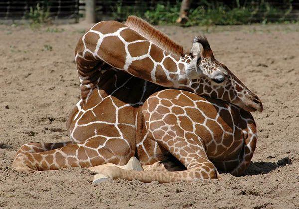 赤ちゃんキリンが丸まって眠る姿が可愛すぎる写真9枚