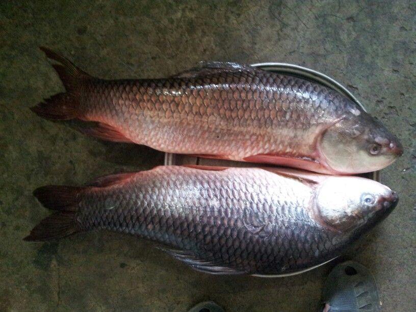 Pin On Bangladeshi Fishes