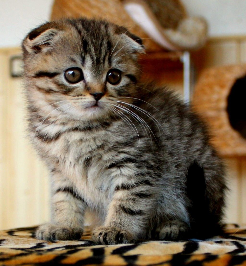 Munchkin Scottish Fold #tabby | Animal Love | Pinterest | Scottish ...