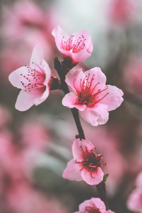 Cherry Blossoms Cherry Blossom Art Flowering Cherry Tree Blossom Flower
