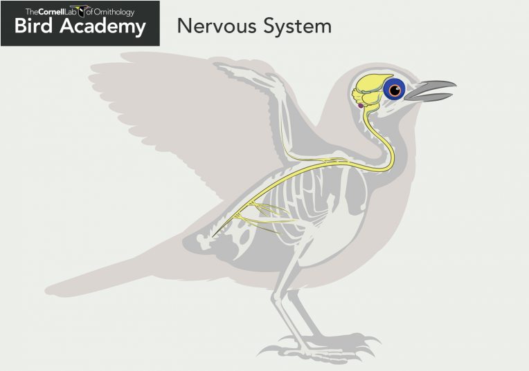 All About Bird Anatomy Pinterest Nervous System Anatomy And Bird