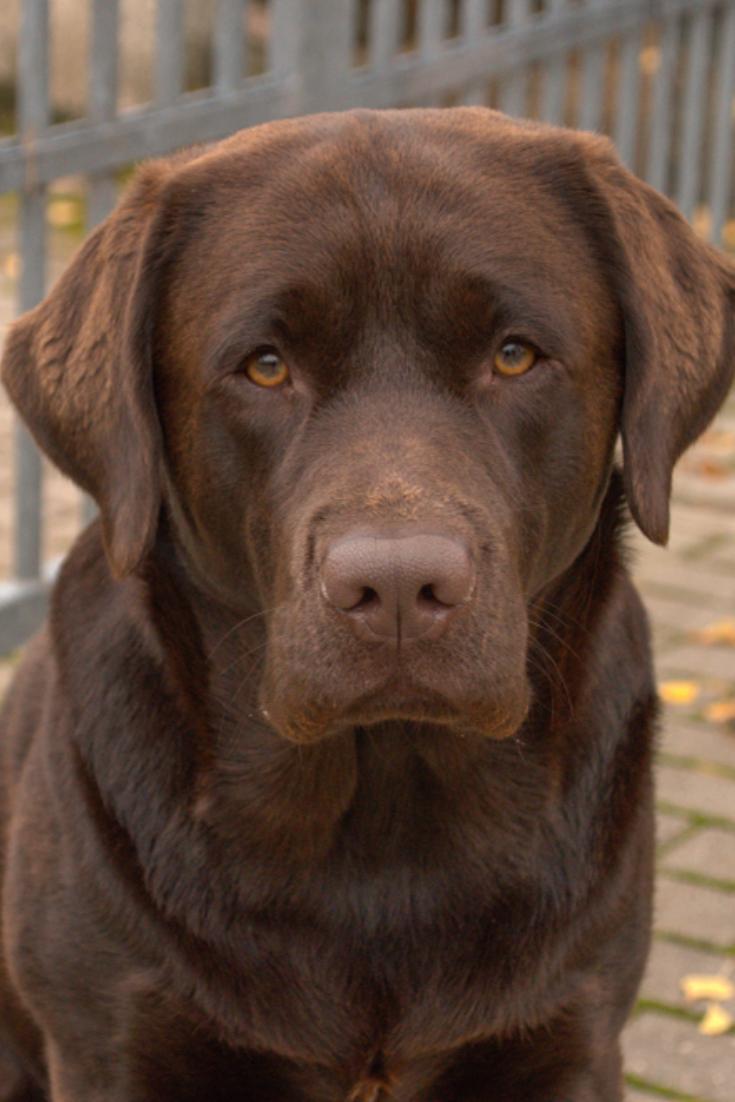 Portrait Of Brown Dog Labrador Retriever Sitting Near Fence In A