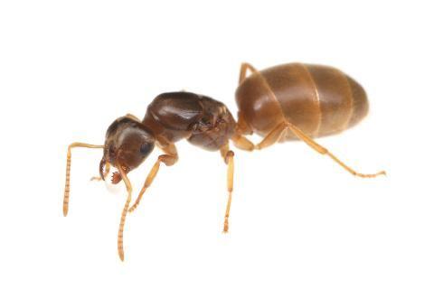 キイロケアリ Lasius Flavus 蟻 アリ 虫