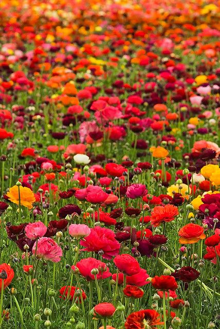 cant wait to plant poppies for my mamal when we move.. it is my best memory of her house her whole front yard looked like this