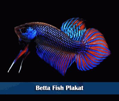 Ikan Cupang Plakat Ikan Cupang Betta Ikan