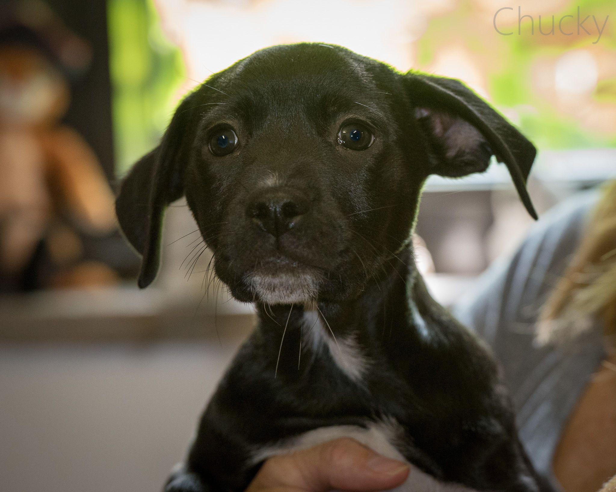 chucky is an adoptable labrador retriever searching for a