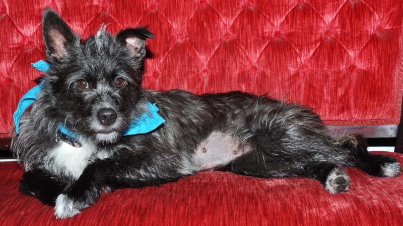 Adopt Sharona On Cairn Terrier Mix Terrier Mix Dogs Cairn Terrier
