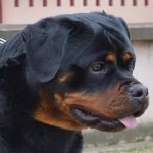 Arka Flash Rouse King Rottweilers Seattle Washington