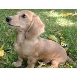 Dachshund Doxie Breeders In Louisiana Freedoglistings Dog