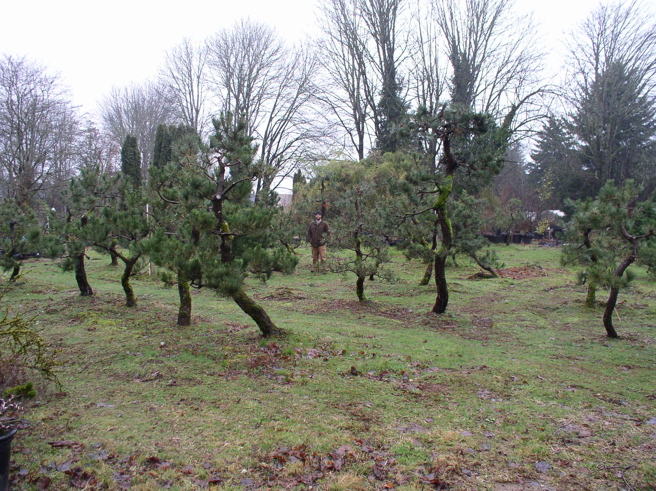 Specimen Anese Black Pines Nursery