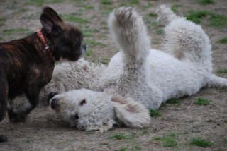 Play with me! #poodle (Yoko's Ai and friend)