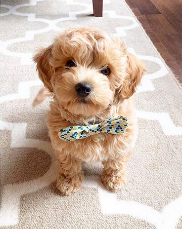 Too dainty. (With images) Poochon puppies, Puppies, Baby