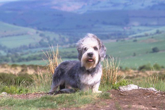 Dandie Dinmont Terrier Dinmont Terrier