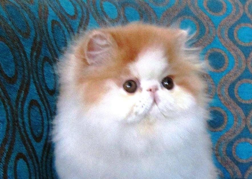 Wallpaper Anak Kucing Lucu Hd Sempoa Dunia