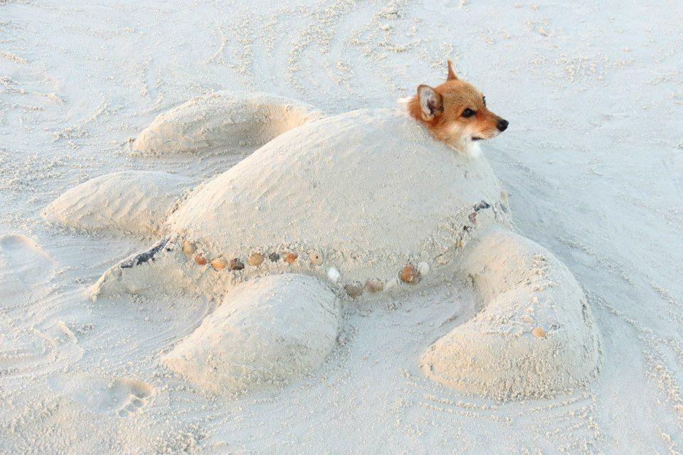 Save Penny The Sea Corgi Turtle Corgi Cute Animals Cute Corgi