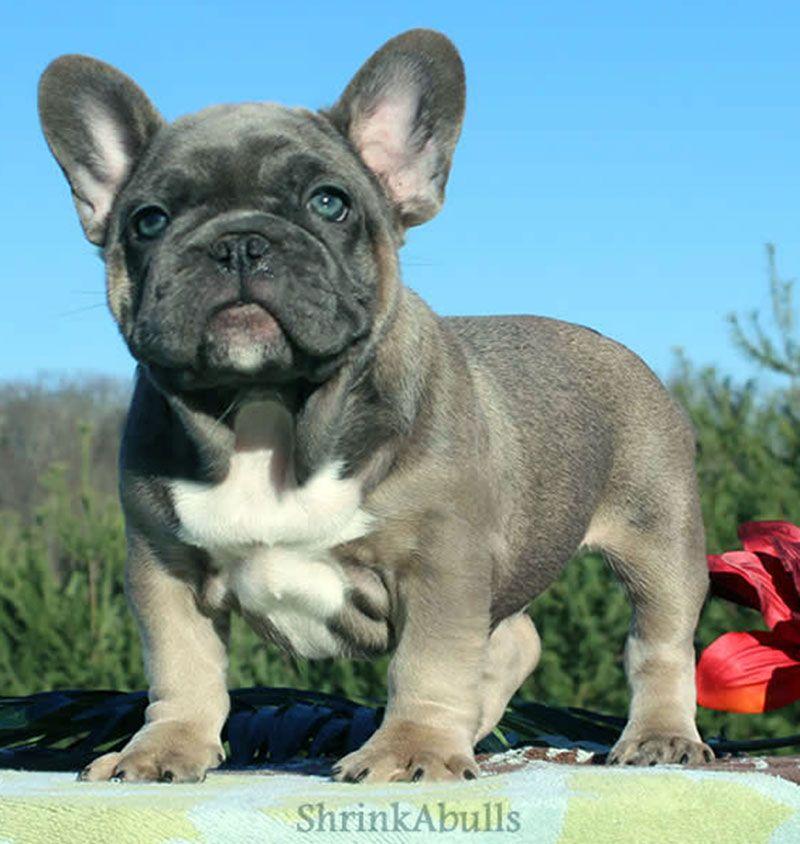 French bulldog with white brindle puppy french bulldog