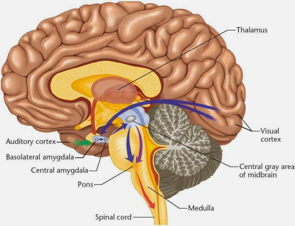 Famoso Cerebro Diagrama Amígdala Cresta - Anatomía de Las ...