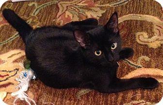 Houston, TX Domestic Shorthair. Meet Simba, a cat for